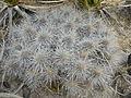 Echinocereus stramineus (5673286182).jpg