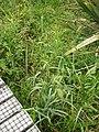 Echinochloa crus-pavonis (Kunth) Schult. (AM AK301699).jpg