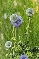 Echinops ritro in Jardin des 5 sens (3).jpg