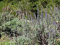 Echium virescens Tenerife 1.jpg