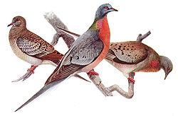 Dessin d'un jeune (à gauche), d'un mâle (devant), et d'une femelle (à droite) pigeon migrateur.