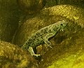 Edough ribbed newt (Pleurodeles poireti).jpg
