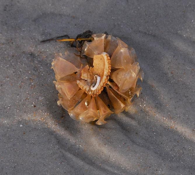 File:Egg Cases on Shell Fragment - Flickr - Andrea Westmoreland.jpg