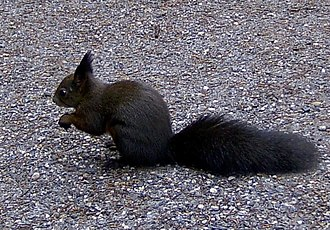 Red squirrel - In the Austrian and Swiss Alps, this species usually has brown-black fur, except for its white belly