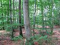 Eisenach (Eifel) Buchenwald 2.jpg