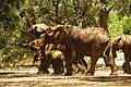 Elephants taking up the road (5232110937).jpg