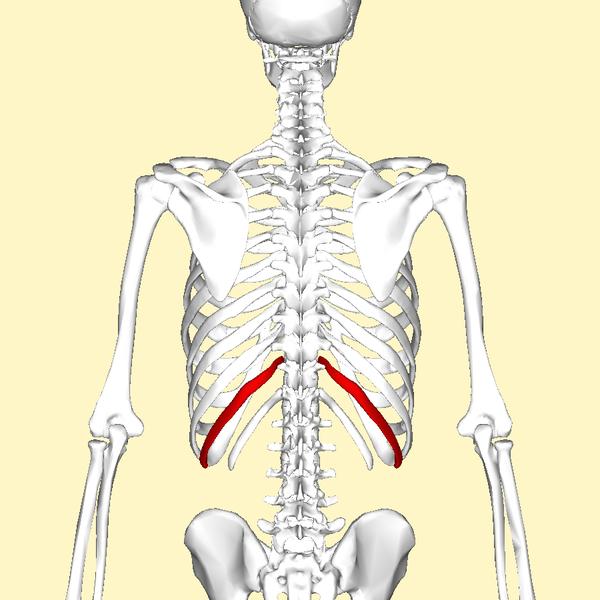 File:Eleventh rib back2.png