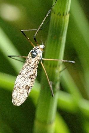 Limoniinae - Image: Eloeophila.maculata