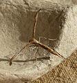 Emmelina monodactyla - Flickr - gailhampshire (2).jpg