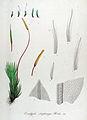 Encalypta streptocarpa — Flora Batava — Volume v14.jpg