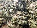 Encroutement algal et ou bactérien sur plantes aquatiques aout 2016 Sèvre niortaise F.Lamiot 06.jpg