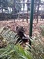 Endangered Drill monkeys at Driving ranch, calabar,Nigeria 01.jpg