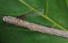 Endangered Pacific Hawaiian damselfly (Megalagrion pacificum).jpg