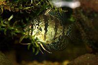 Enneacanthus chaetodon 02.jpg