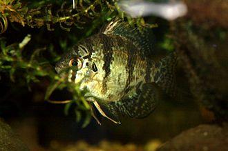 Enneacanthus chaetodon - Specimen in an aquarium.