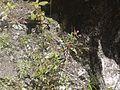 Epilobium royleanum (7814608968).jpg