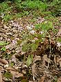 Epimedium grandiflorum var thunbergianum4.jpg