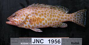 Areolate grouper - Epinephelus areolatus from off New Caledonia