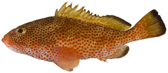 Epinephelus - Epinephelus guttatus