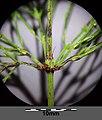 Equisetum sylvaticum sl14.jpg