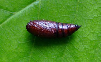 Mottled umber - Image: Erannis defoliaria pupa