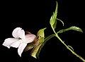 Eremophila clarkei - Flickr - Kevin Thiele.jpg