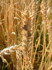 Ergot on wheat spikes