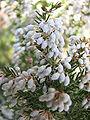 Erica arborea1.jpg