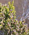Erica reunionensis fruit.JPG
