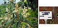Eriobotrya japonica A.jpg