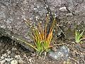 Eriocaulon heterolepis (1390941723).jpg