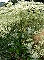 Eriogonum giganteum 2.jpg