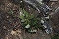 Eriogonum pyrolifolium 7470.JPG