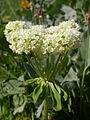 Eriogonum umbellatum (5006709830).jpg