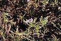 Erodium cicutarium 112708373.jpg