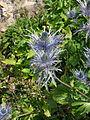 Eryngium alpinum-Jardin d'altitude du Haut-Chitelet (2).jpg