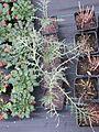 Eryngium variifolium, Cynara baetica maroccana and Iris lactea - Flickr - peganum.jpg