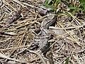 Estação Ecológica de Caetés Mauricio Cabral Periquito (1) Boa constrictor24-01-2012.jpg