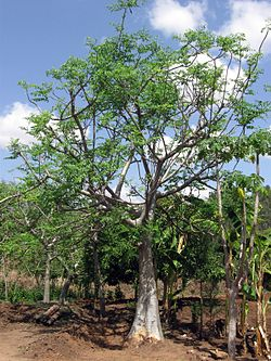 Ethiopia - Mature Moringa stenopetala tree - March 2011.jpg