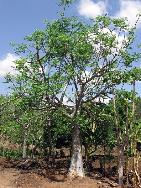 File:Ethiopia - Mature Moringa stenopetala tree - March 2011.jpg