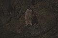 Etna-Grotta tre livelli-Myotis myotis.JPG