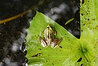 Euphlyctis hexadactylus 3422.jpg