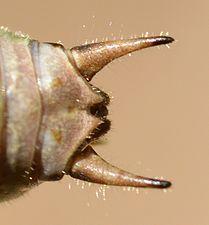 Eupholidoptera chabrieri male (31036286634).jpg