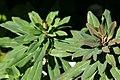 Euphorbia amygdaloides Elanthia 0zz.jpg
