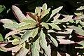 Euphorbia amygdaloides Helenas Blush 0zz.jpg