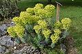 Euphorbia characias in Botanical Garden of Besançon 02.JPG