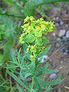 Euphorbia esula habitus.jpeg