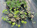 Euphorbia myrsinites - Flickr - peganum.jpg