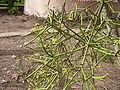 Euphorbia tirucalli 0002.jpg