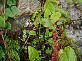 Euphrasia platyphylla (7856499636).jpg